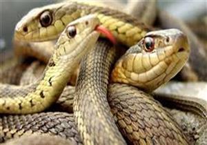إهمال أم خلل بيئي.. لماذا انتشرت الثعابين فجأة بالبحيرة؟
