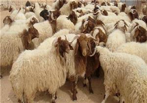 الخراف بـ62 جنيها والبرازيلي بـ45.. طرح لحوم بأسعار مخفضة استعدادا للعيد بالأقصر