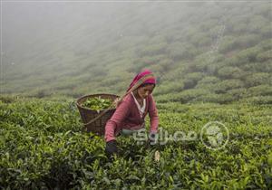 بالصور- مملكة الشاي في الهند