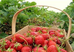 مكافأة خيالية لمن يرشد عن مُخرّب محصول فراولة في أستراليا