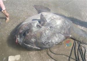 """بالصور.. """"سمكة الشمس النادرة"""" تظهر في بورسعيد للمرة الأولى.. و""""بلدوزر"""" لنقلها"""