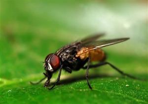 بعد انتشاره ببعض المحافظات.. 8 نصائح للوقاية من أمراض  الذباب