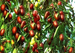ليس مشروبًا فقط.. 7 فوائد صحية لفاكهة العناب