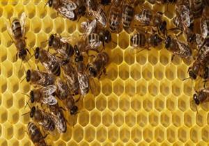 النوم مع النحل.. أحدث طريقة لعلاج الآلام في أوروبا