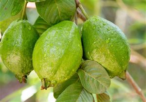 10 فوائد متنوعة للجوافة (انفوجراف)