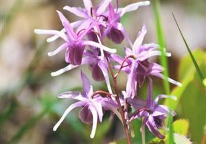 بديل آمن للفياجرا.. 6 فوائد صحية لعشبة العنزة (صور)