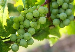فاكهة صحية للحوامل.. ما لا تعرفه عن العنب الأخضر وقيمته الغذائية