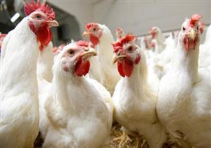 كرتونة البيض ترتفع 3 جنيهات بالأسواق اليوم واستقرار أسعار الدواجن