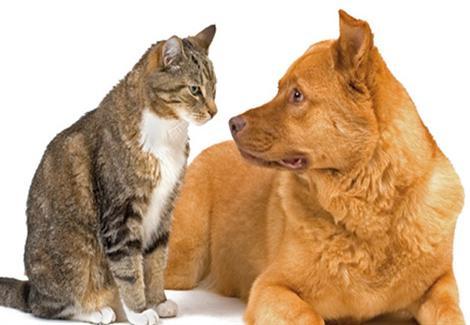فيروس كورونا: اختبارات على الجمال والكلاب لحل لغز المرض القاتل