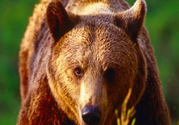 لماذا يخاف الناس من الدببة سيئة الطباع؟