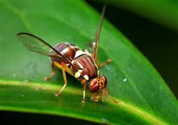 """""""الزراعة"""": تحصيل 16 مليون جنيه سنويًّا لمحاربة ذبابة الفاكهة - فيديو"""