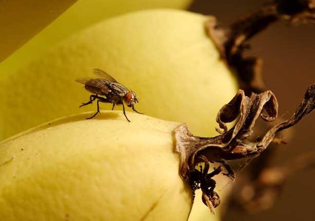 """أول تعليق من """"الزراعة"""" على تقرير مخالفات """"ذبابة الفاكهة"""""""