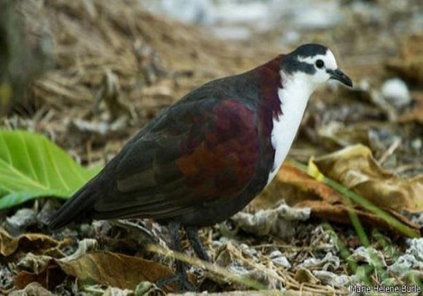 إعادة جزر استوائية لطبيعتها لإنقاذ طيور نادرة كادت تنقرض