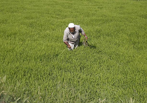 الاستيراد وزيادة الانتاج.. أسباب انخفاض سعر الأرز بكفر الشيخ
