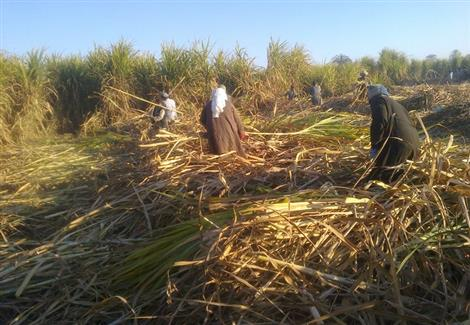 مزارع القصب
