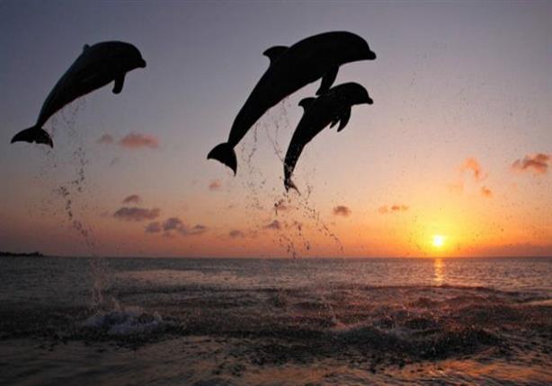 الدلافين اللطيفة تَقتل سراً وتتحرش جنسيا بالإناث