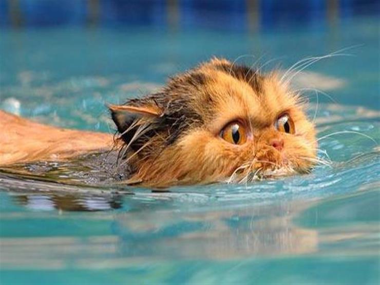 هل تستطيع القطط السباحة؟