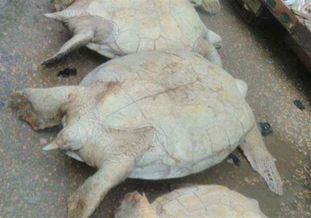 البيئة: حملات مكثفة لمواجهة بيع السلاحف البحرية بالأسواق في الإسكندرية