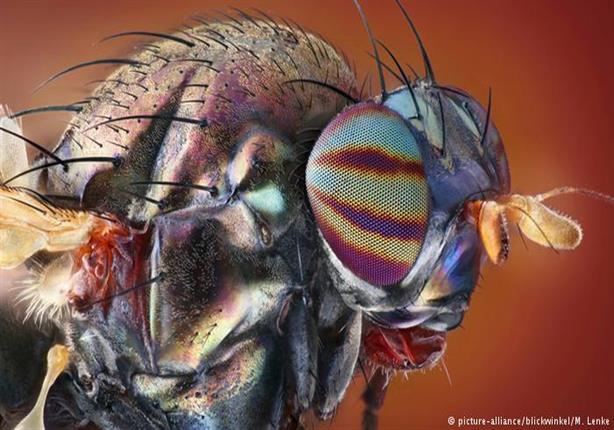 """باحثون يكتشفون """"زرقاء اليمامة"""" بين الذباب!"""