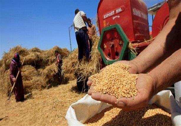 بدء استلام محصول القمح من مزارعي الوادي الجديد