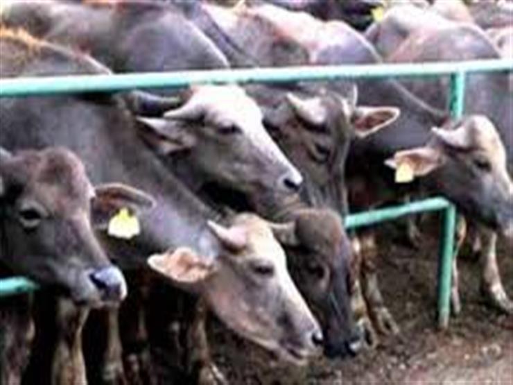 """""""الزراعة"""": 200 مليون جنيه لشراء رؤوس ماشية سريعة النمو"""