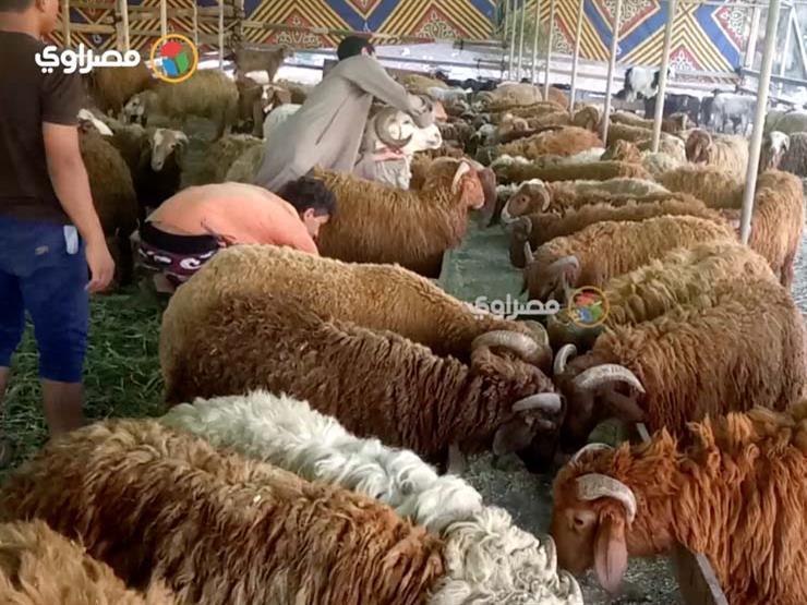 """بالأسعار.. """"الزراعة"""" تطرح أضاحي العيد الأسبوع المقبل"""