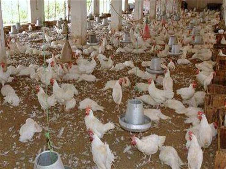 نفوق 6 آلاف دجاجة في حريق مزرعة دواجن بالبحيرة