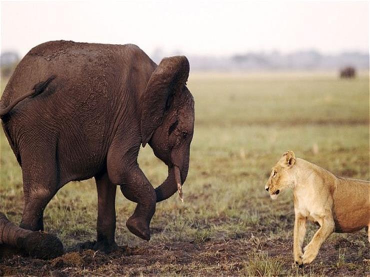 بالفيديو- أنثى فيل شجاعة تهزم أسدًا