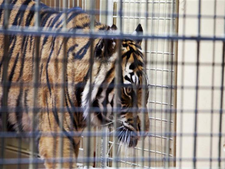 نمر يقتل زائرًا في حديقة حيوان روسية