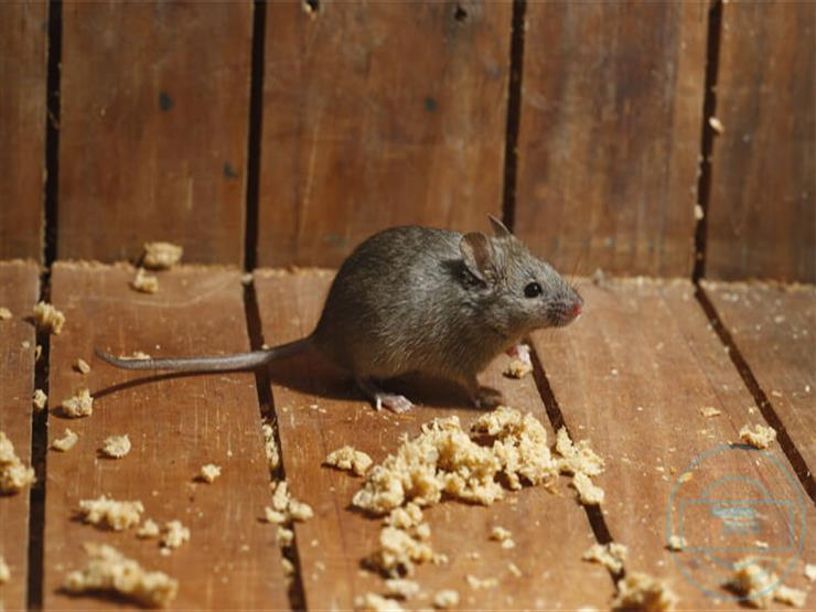 كيفية التخلص من الفئران