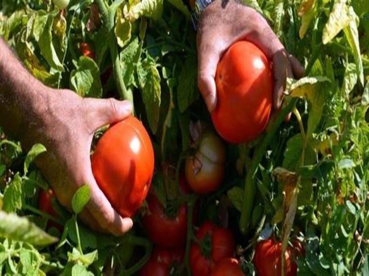 """""""جودة وتخفيض أسعار"""".. """"الزراعة"""" تكشف عن بذور جديدة للطماطم والخضروات"""