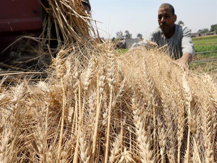 تموين الوادي الجديد: توريد 254 ألف طن قمح داخل وخارج المحافظة