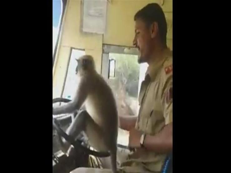 قرد يقود حافلة في الهند
