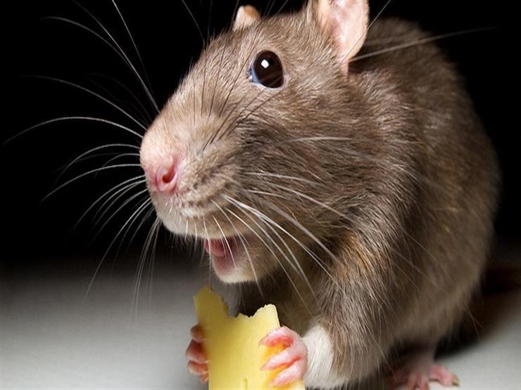 كيف تصطاد الفئران دون قتلها؟
