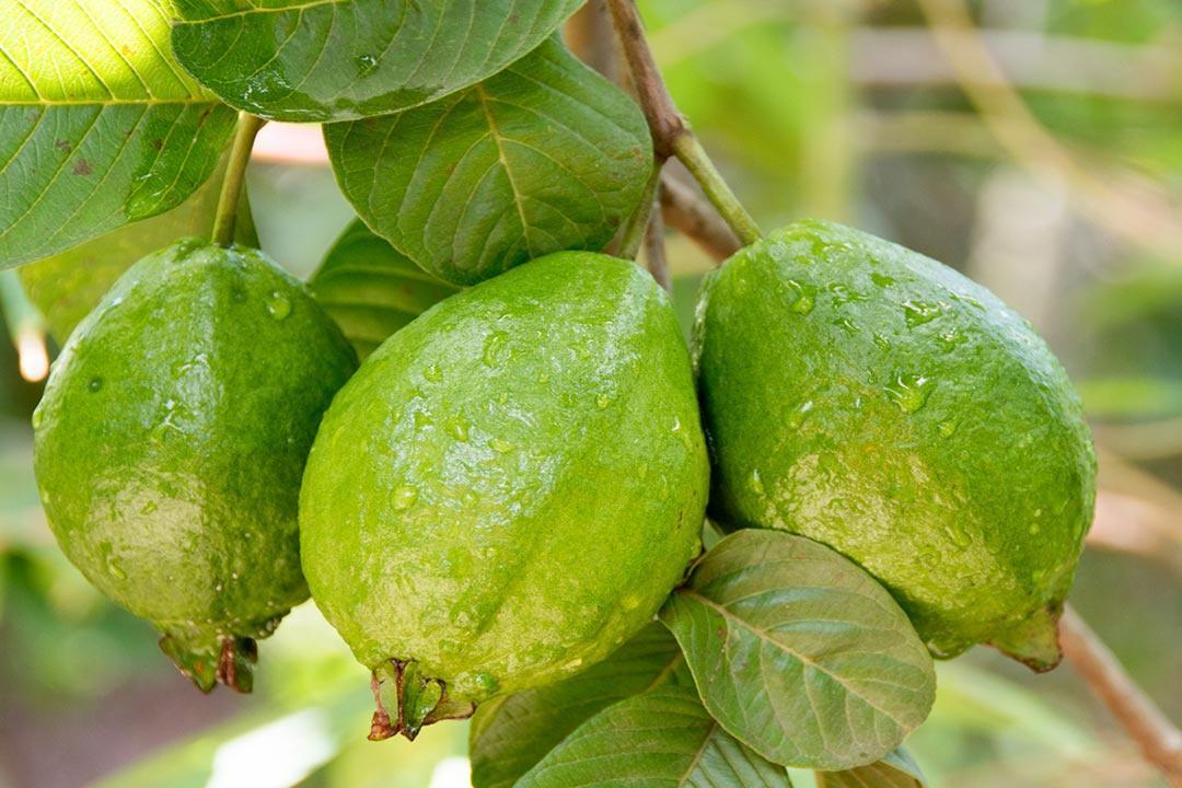 تكافح الشيخوخة وتعزز المناعة.. إليك أهم الفوائد الصحية للجوافة