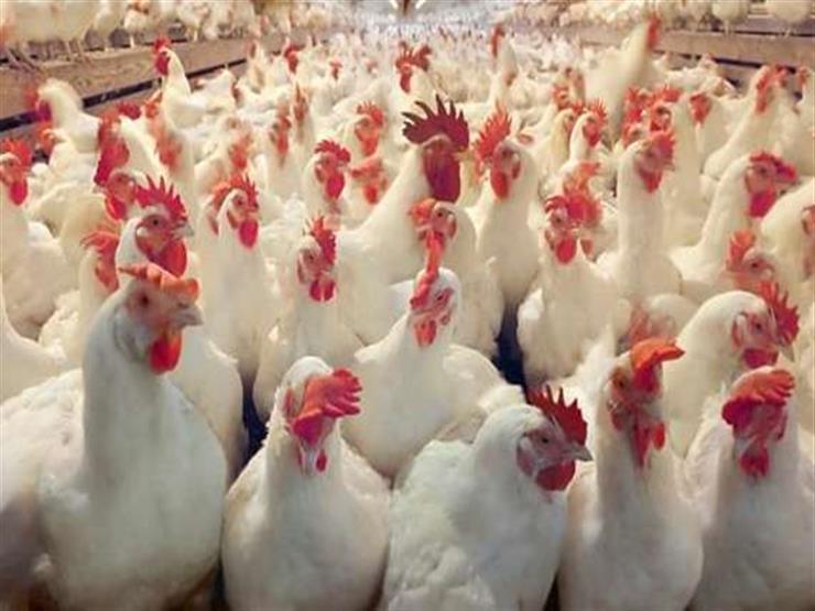 """""""الزراعة"""" تعلن موعد تطبيق """"حظر تداول الدواجن الحية"""" بالقاهرة والجيزة"""