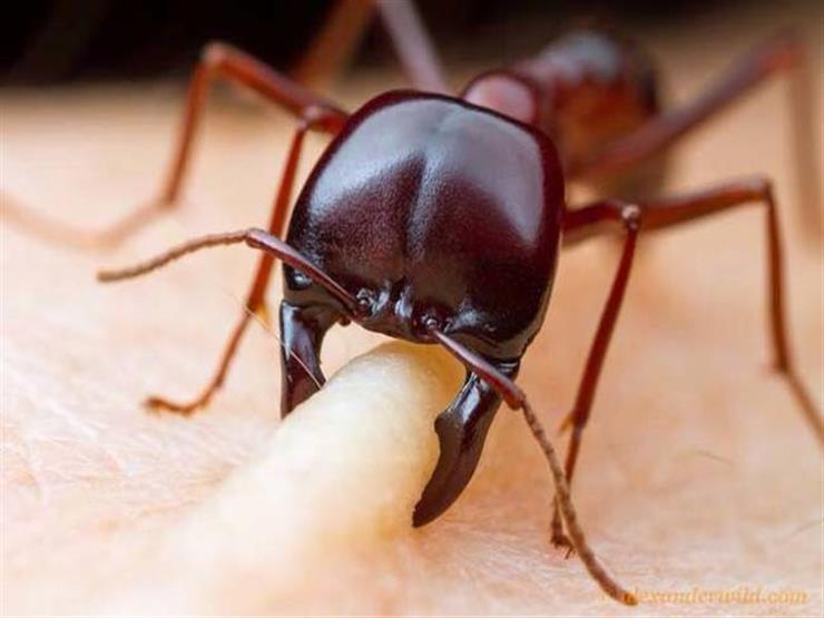 دراسة: النمل يساعد على مكافحة مقاومة البكتيريا للمضادات الحيوية