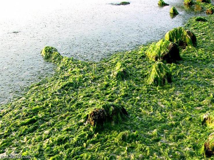 مشروع مصري كبير لإنتاج الوقود الحيوي من الطحالب