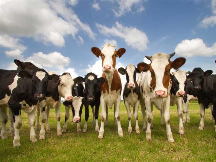 لمواجهة تداعيات المقاطعة.. قطر تستورد 3000 بقرة أمريكية لإنتاج الحليب