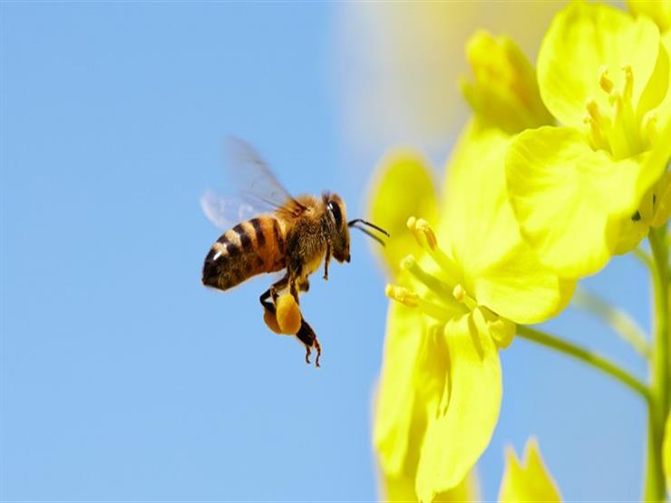 الكحلاوي توضح الدقة القرآنية فى شرح تكوين النحلة والغرض منها
