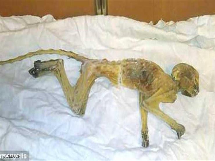عمرها 50 عامًا..العثور على جثة قرد محنطة تثير الجدل في أمريكا