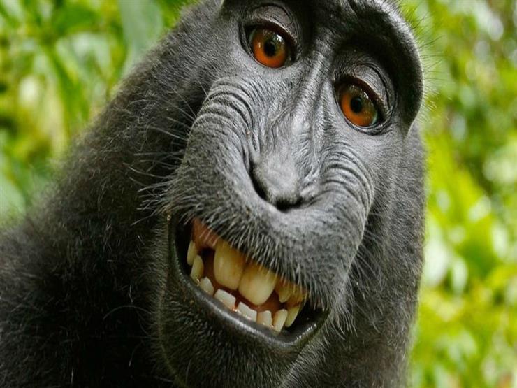 """انتصارًا لحقوقه الفكرية.. """"سيلفي القرد"""" أمام المحكمة من جديد"""