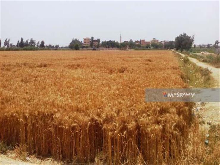 زراعة الإسكندرية تعلن حصاد 1590 فدانًا من محصول القمح