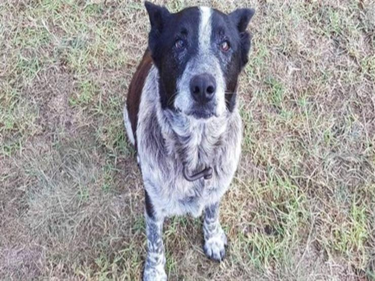 كلب أصم ونصف أعمى أنقذ طفلة من الضلال بأستراليا