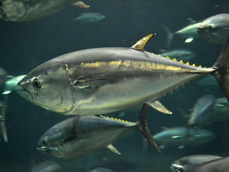 العالم يحيي غدا اليوم العالمي لسمك التونة
