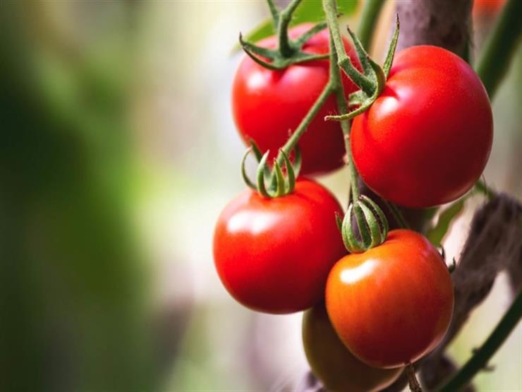 لماذا تعبتر الطماطم فاكهة وخضار في آن واحد مصراوى