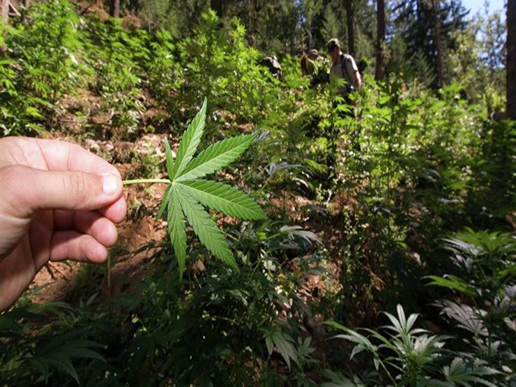 ولاية أمريكية تسمح بإعطاء التلاميذ الماريجوانا في المدارس