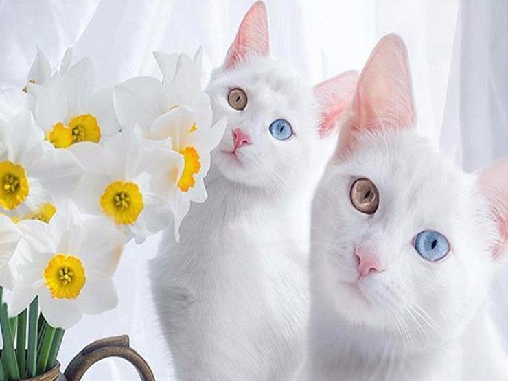 بسبب لون عينيهما.. قطتان تحصلان علي 47 ألف متابع علي انستجرا...مصراوى