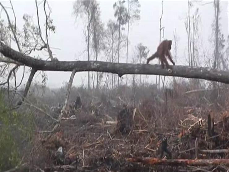 """""""فيديو"""".. غوريلا تحاول حماية أشجار الغابة وتتصدي للجرافات في لحظات مؤلمة"""