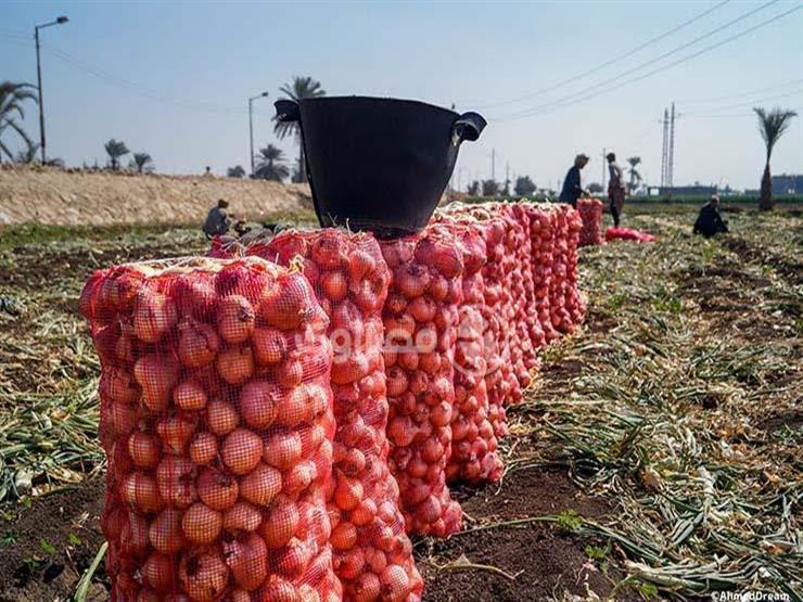 مصر الثالثة عالميًا في تصدير البصل المجفف